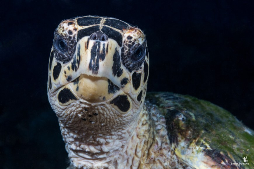 hawksbill sea turtle portrait underwater