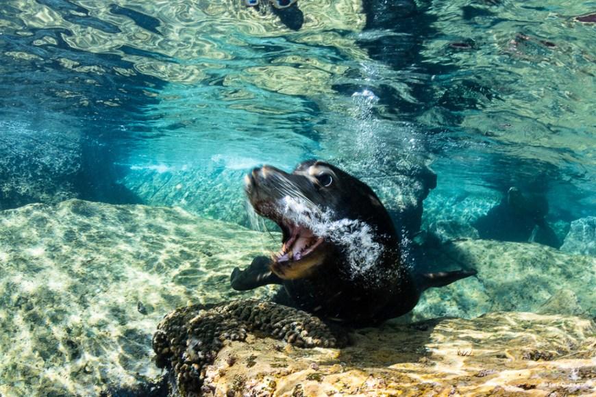 male sea lion blowing bubbles