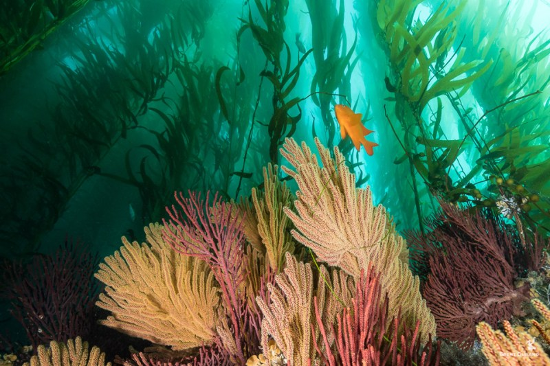 malibu beach kelp forest gorgonians