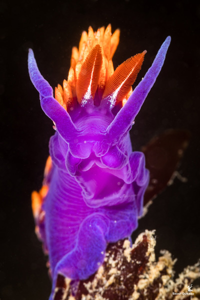 underwater portraits spanish shawl nudibranch