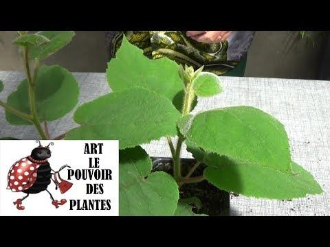 Tuto jardinage: Semis de kiwi: Actinidia chinensis:  Plante vivace