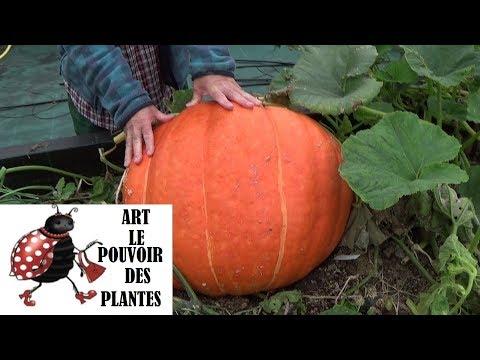 Potager : courge géante(bio): Conseils jardinage :comment faire un semis: Plante annuelle