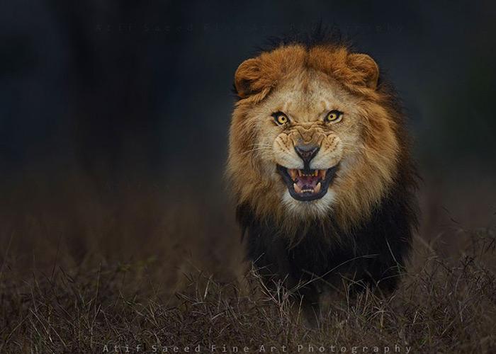 Photographer vs Lion