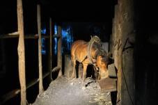 Koń podczas pracy. Zjazd na dół był dla konia biletem w jedną stronę