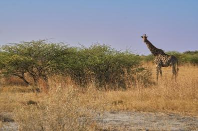 Żyrafa spoglądająca na nas zza krzaka :)