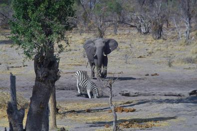 Zebra i słoń przy wodopoju