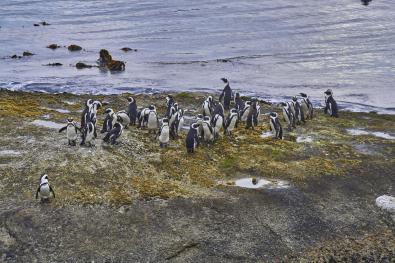 Pingwiny w Kapsztadzie