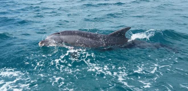 delfin-kupanje-hrvatska1