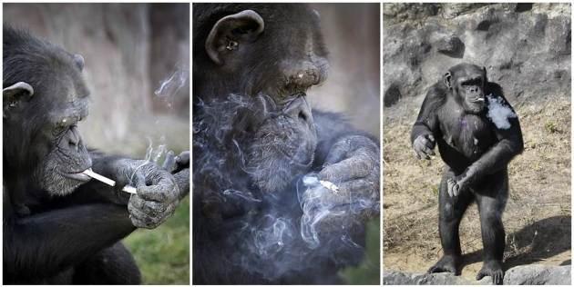 atrakcija-zoo-centra-cimpanza-ispusi-kutiju-cigareta-dnevno