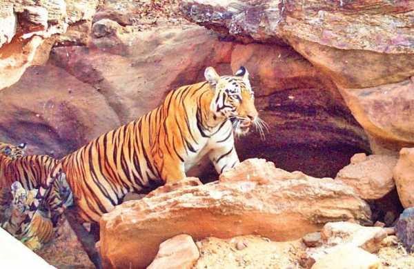 భయపెడుతున్న పులి, Tiger roaming in Kottagudem