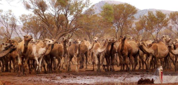 Avustralya'da 10 bin deve öldürülecek!