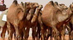 Avustralya'ya tepki: Deve vahşeti insanlıkla bağdaşamaz