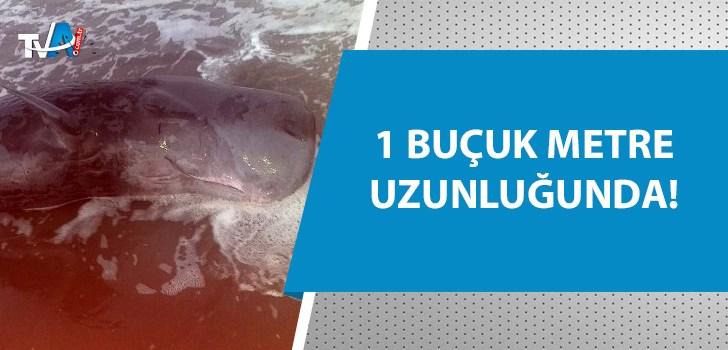 Adana'da nehrin döküldüğü yere yavru ölü balina vurdu!