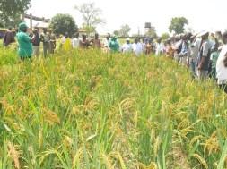rice-farm-tvcnews