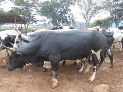 Cattle-Breeding-TVCNews