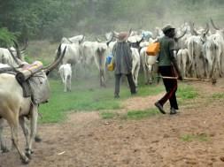 Cattle rustling - TVC