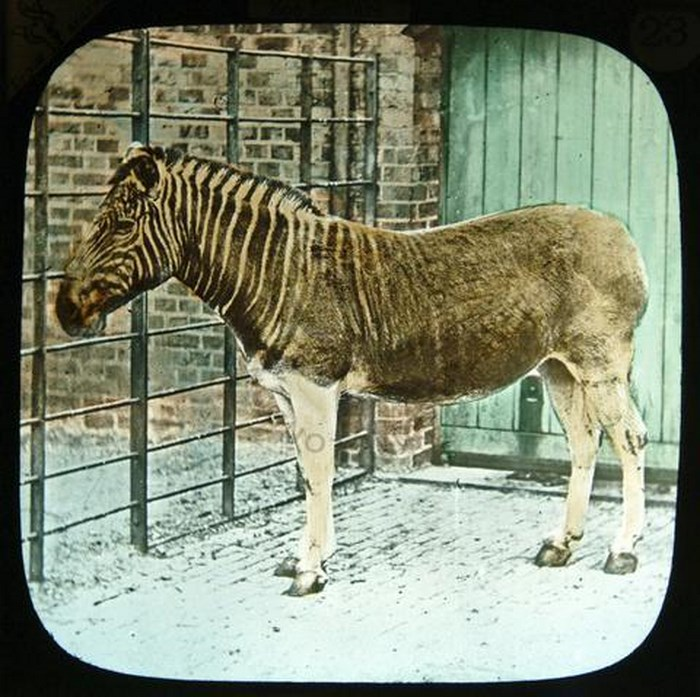Extinct Quagga. By Literarymind (Flickr)