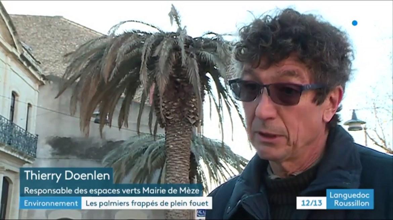 Les palmiers victimes du charançon rouge