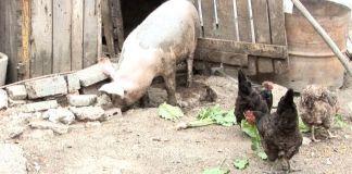 проверки за укрити прасета в задните дворове