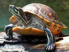 Панцирь-черепах-Свойства-и-применение-3