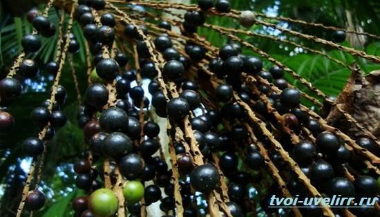 Ягоды-Асаи-Свойства-применение-отзывы-и-цена-ягоды-Асаи-2