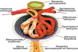Какие показатели крови указывают на болезни почек. Общее клиническое исследование мочи. Что обозначают показатели общего анализа крови