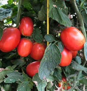 tomatoes in garden