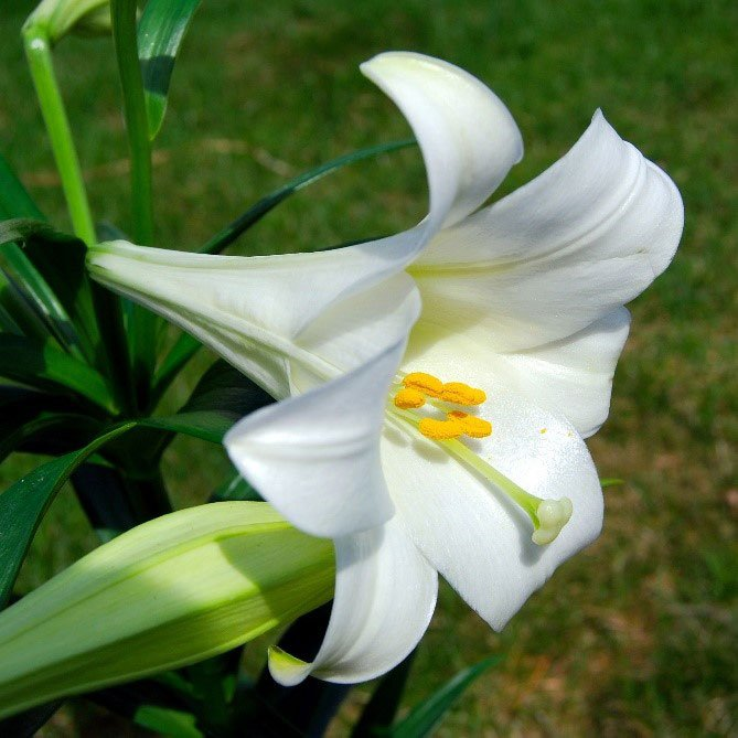 lily in full bloom