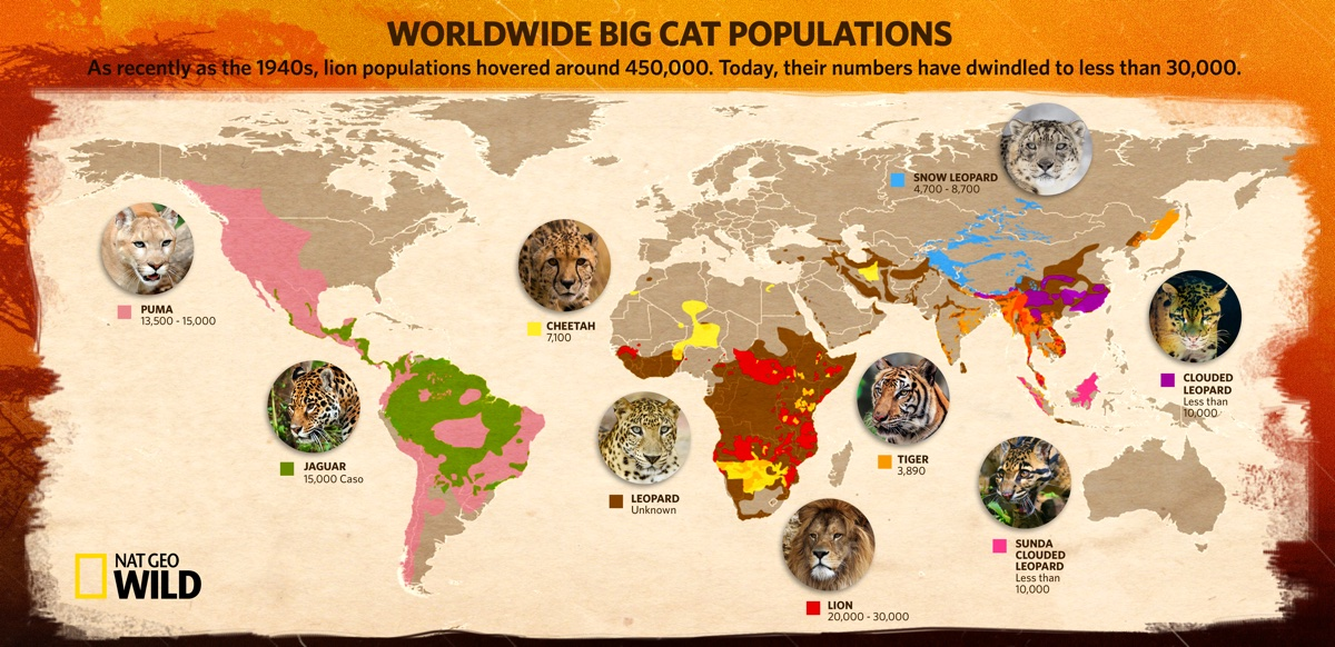 Cat Map Of The World.Big Cat Week Fights Decline Of Wild Cats Tv Show Patrol