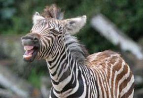 zoo-zebra