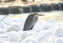 zimowa czapla siwa-dla ochłody