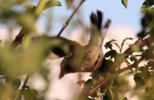 Gąsiorek, mały drapieżnik o interesujących zwyczajach