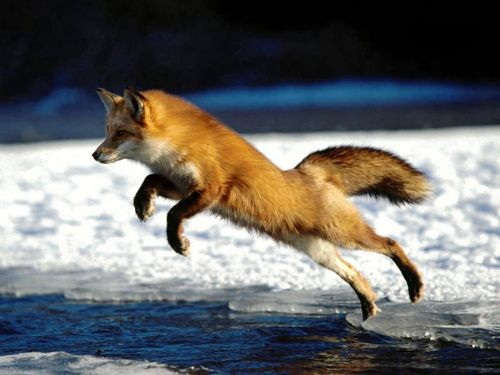 red-fox-jumping-wallpaper