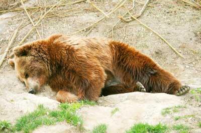 bear 熊 hibernate 冬眠 sleep 睡覺