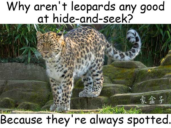 leopard 豹 hide and seek 捉迷藏