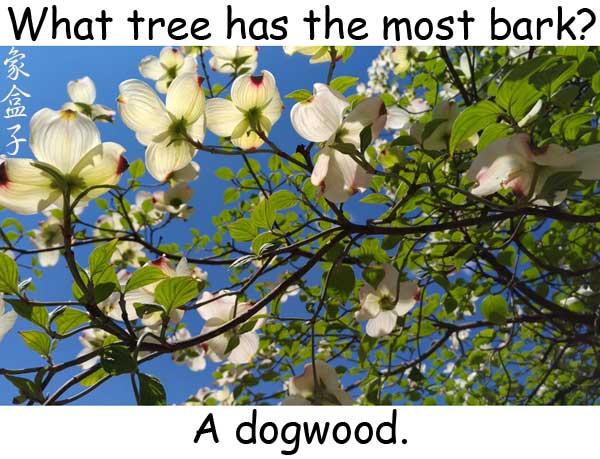 dogwood 四照花 bark 樹皮 吠叫