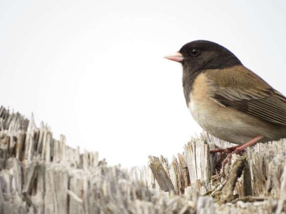 Giant Junco, destroyer of worlds