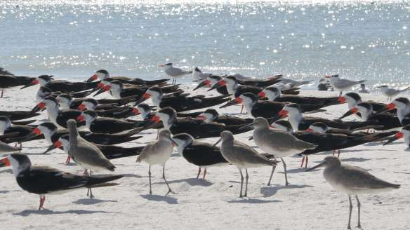 Skimmers and Willets