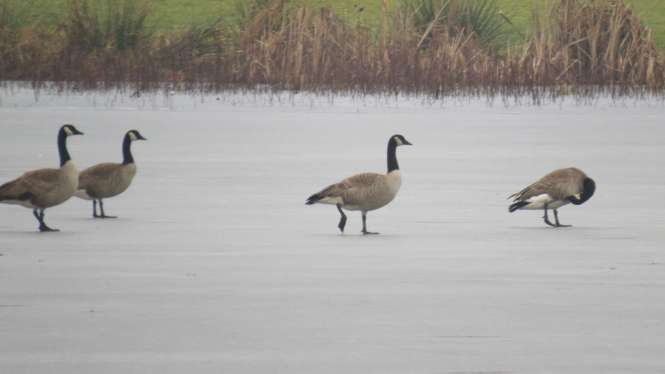 Geese on ice