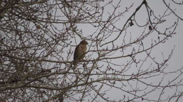 Invasion of the Red-shouldered Hawks