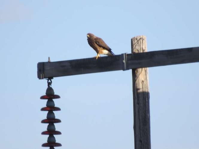 Swainson's Hawk (dark morph), moments before was exchanged with a Rough-legged Hawk