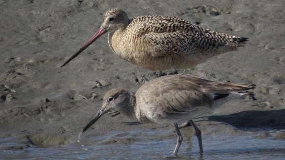 Godwit and a willet