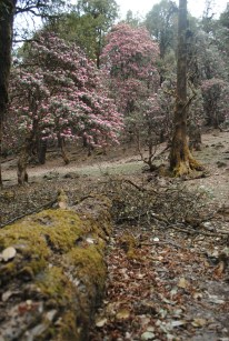 Trails with Rhododendron in bloom - Kumaon