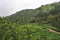 Tea Gardens, Munnar - Kerala