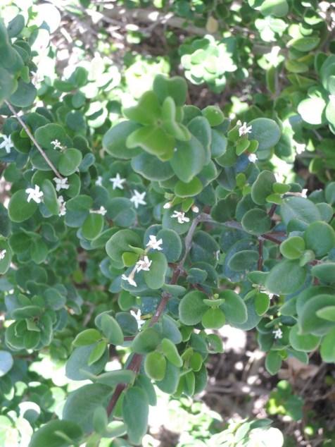 Sea box (Alyxia buxifolia)
