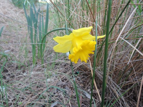 Our first daffodil