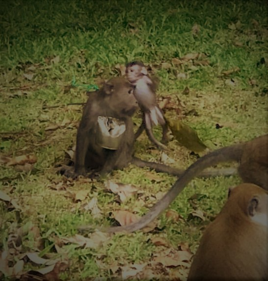 Monkey with tin around neck