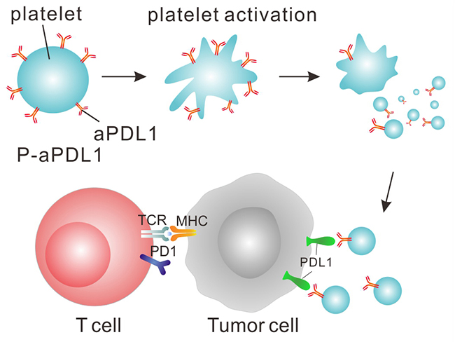 Platelets Deliver Immunotherapy, Slow Tumor Growth