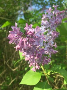 Close up of a lilac flower