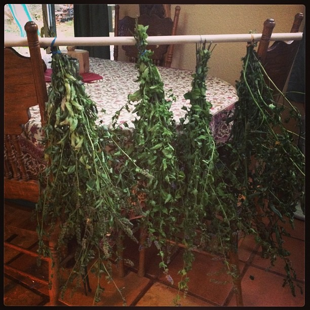 Drying mint for winter tea